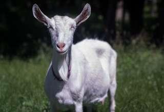 Summer Hills Farm - Dairy Goats