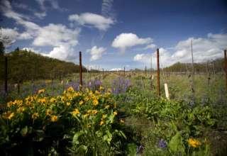 Meadowlark Vineyard