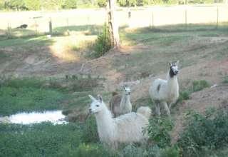 LlamaLand Ranch