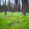 Ponderosa Pine Paradise