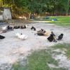 Black Sheep of Oak Island