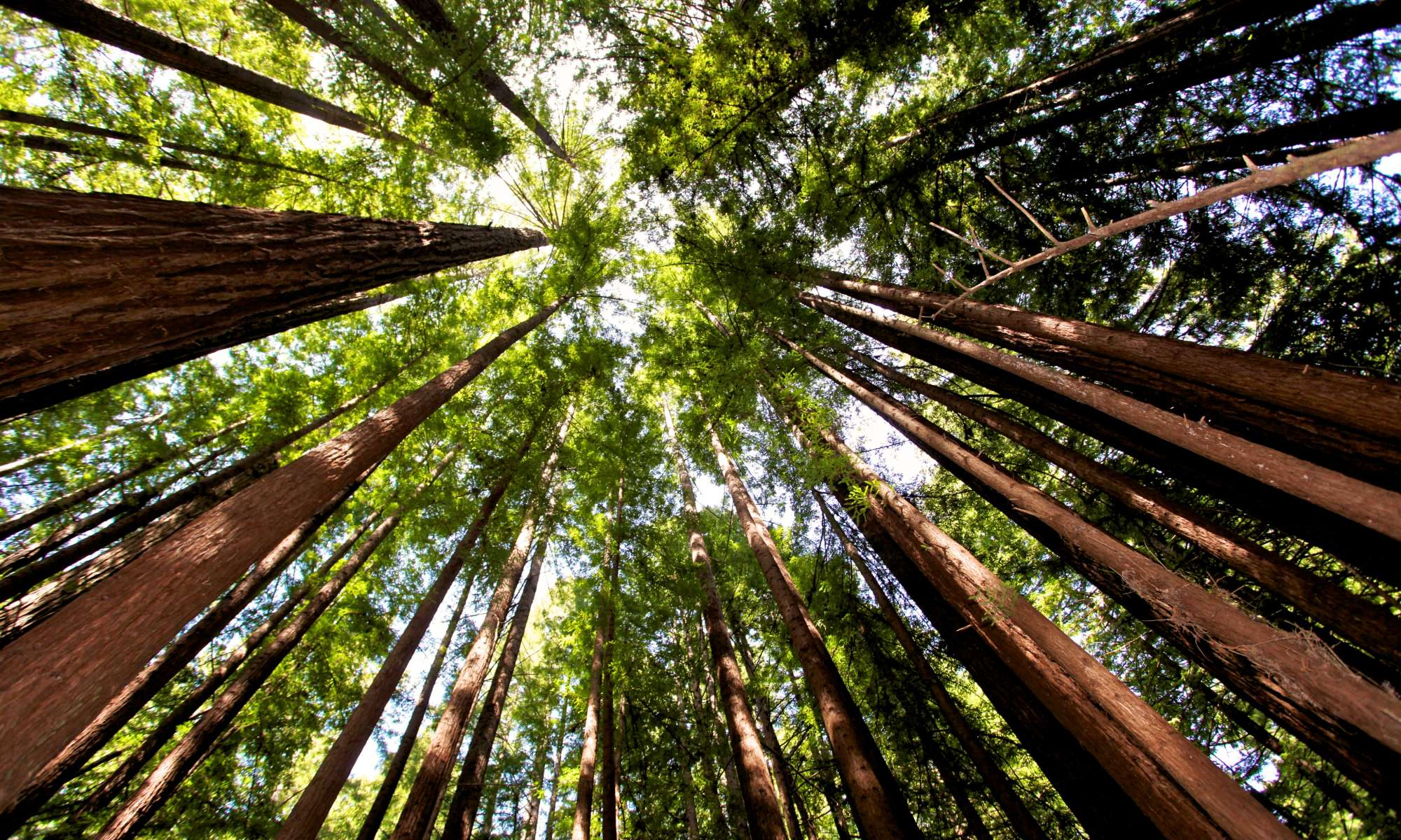 Help Plant 1 Million Redwoods