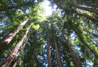 Henry Cowell Redwoods