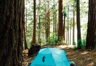 Dancing Redwood Trees