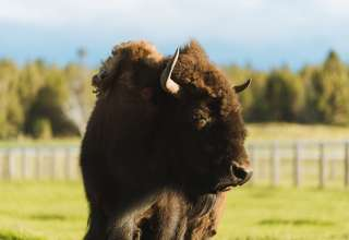 Pine Mountain Buffalo ranch