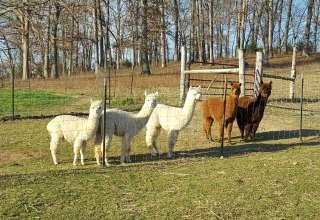Sutton At Home Alpaca Farm