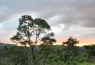 Finca Hekiti Cacao Forrest Farm
