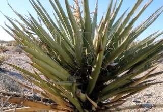 Fourty Nine Palms Oasis Hike