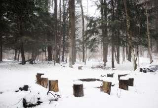 Pine Tree Serenity