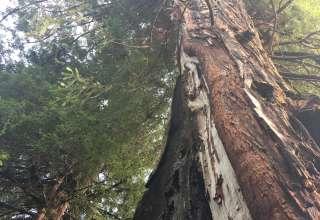 Mitchell Grove, Redwoods/Apples
