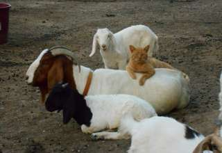 Ash Grove Goat Ranch