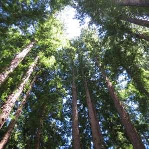 Henry Cowell Redwoods