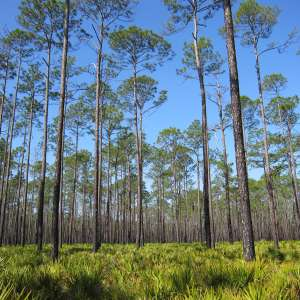 Osceola National Forest