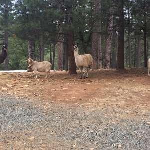 Llama Mama Land