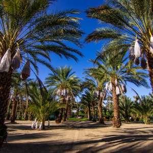 Rancho 51 Date Garden