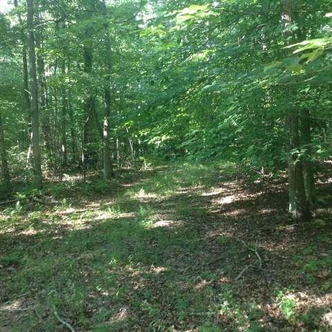 Pristine Pine Woods