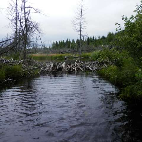 Dam Beavers