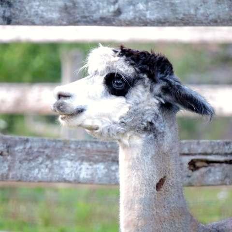 Bella Luna Alpaca Farm