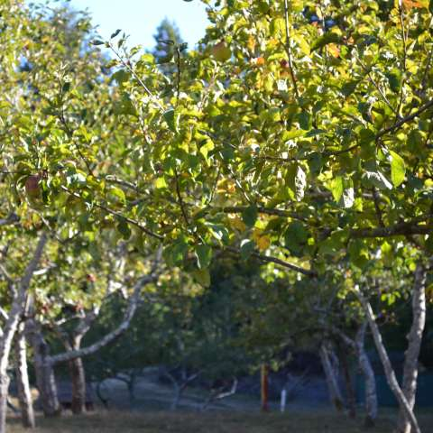 Apple Orchard in the Redwwods