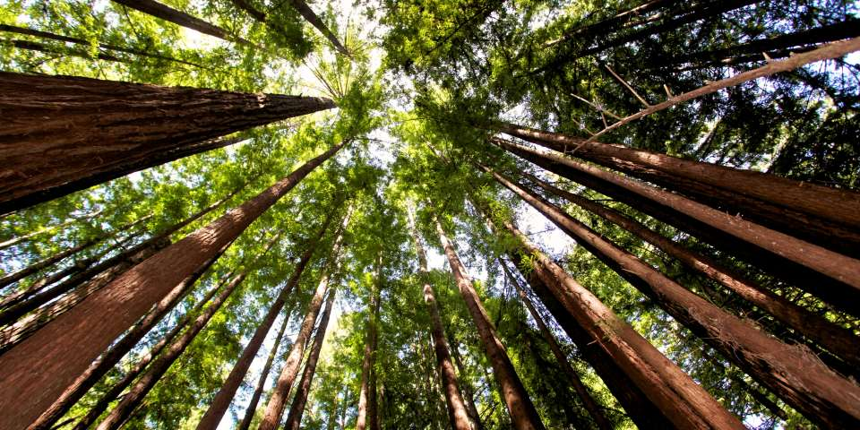 Help Plant 1 Million Redwoods