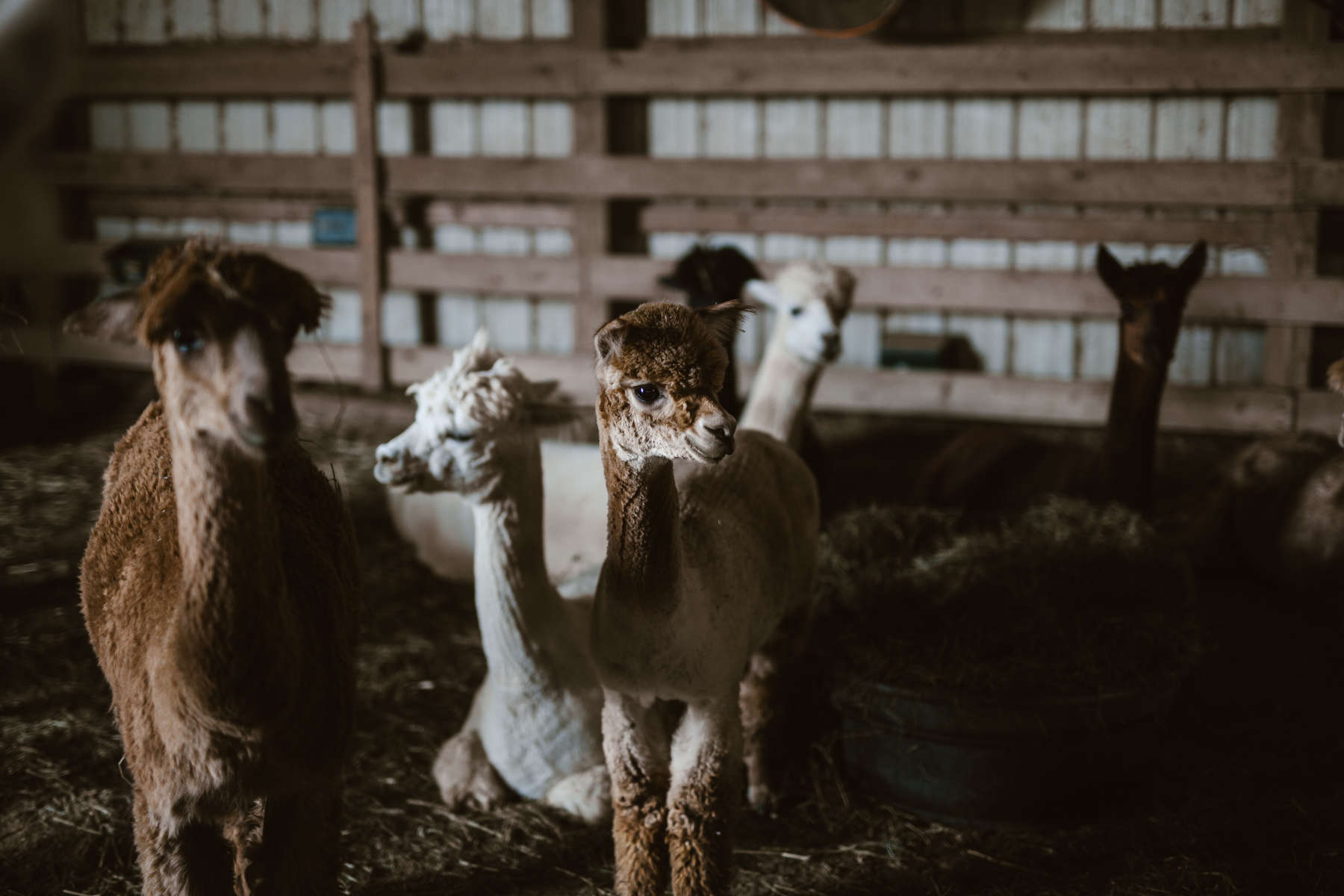 Alpaca dating sim vinny from jersey