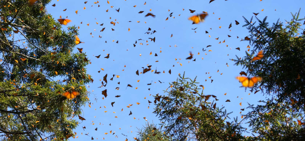 #NATUREALERT: A Massive Migration of Butterflies is Coming Through Northern California and Oregon