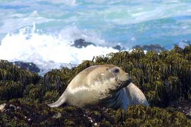 Hundreds of seals use these rocks for sunbathing