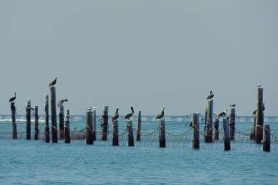 Pelicans, seagulls, and cormorants at First Landing
