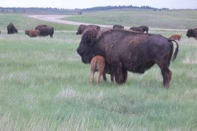 Calves were still young