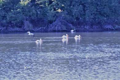 Pelicans have a thriving colony at this site.