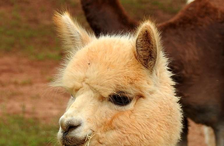 """See the Alpacas """"Down on the range"""""""