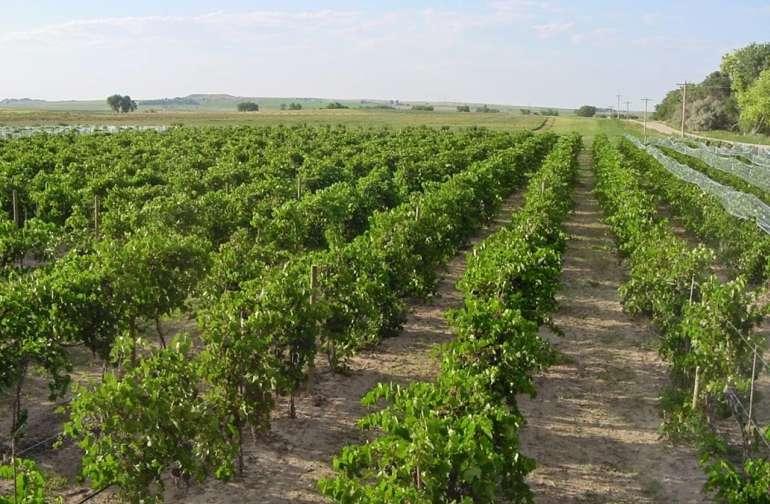 Wyo's Largest Vineyard