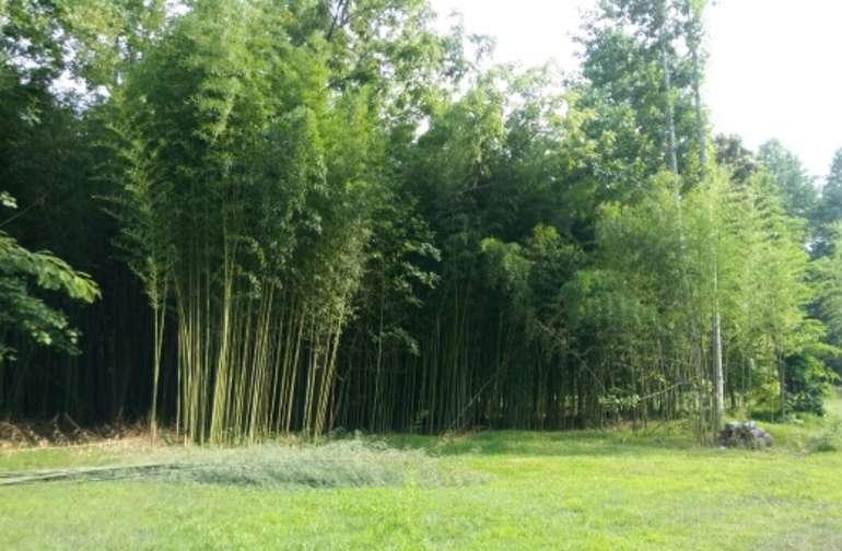 Bamboo grove on way to field.