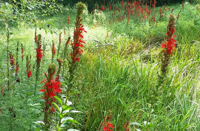Cardinal flowers near the pond