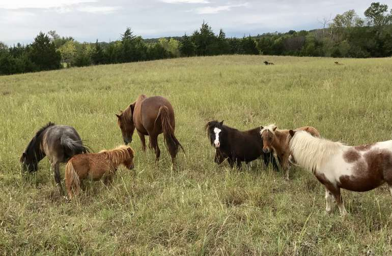 The welcoming committee of mini horses in the beautiful pasture