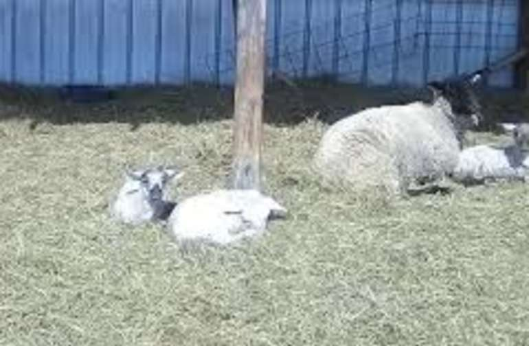 Lambs in the Spring