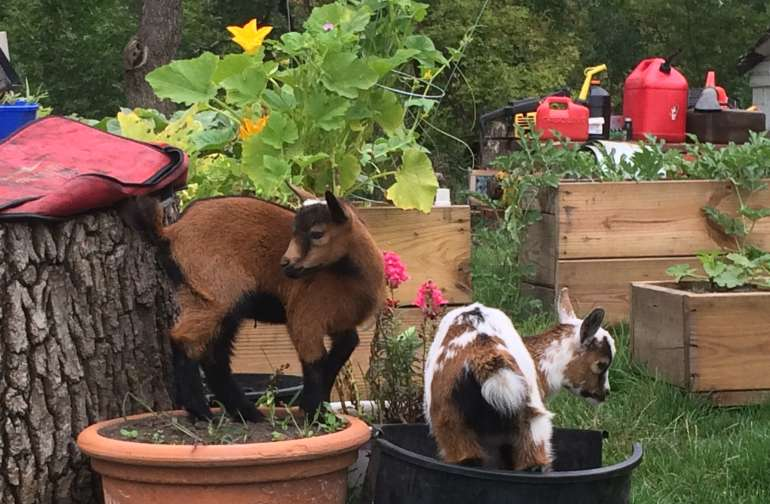 Baby goats every year!