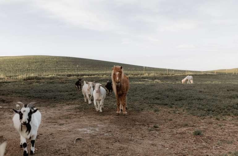 horse animal goat