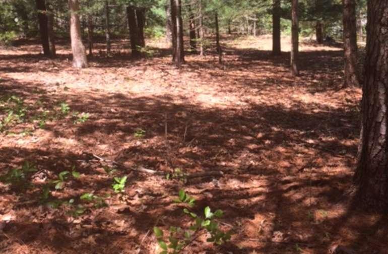 White pine grove
