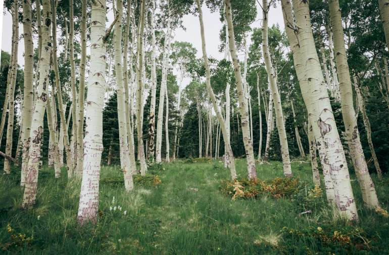 This is the aspen grove where you can set up your tent!