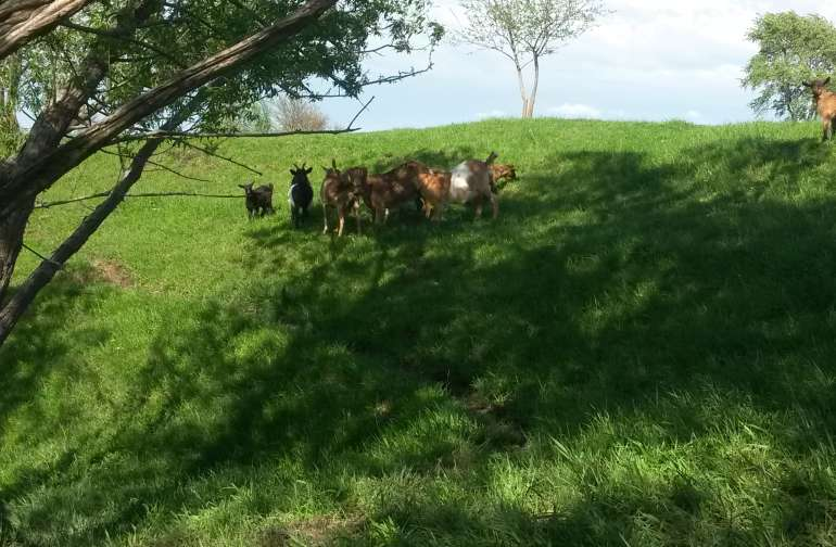 Goat land
