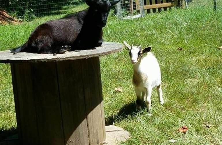 Our first goats, Opie & Sophie, who now have a baby boy, Robbie :)