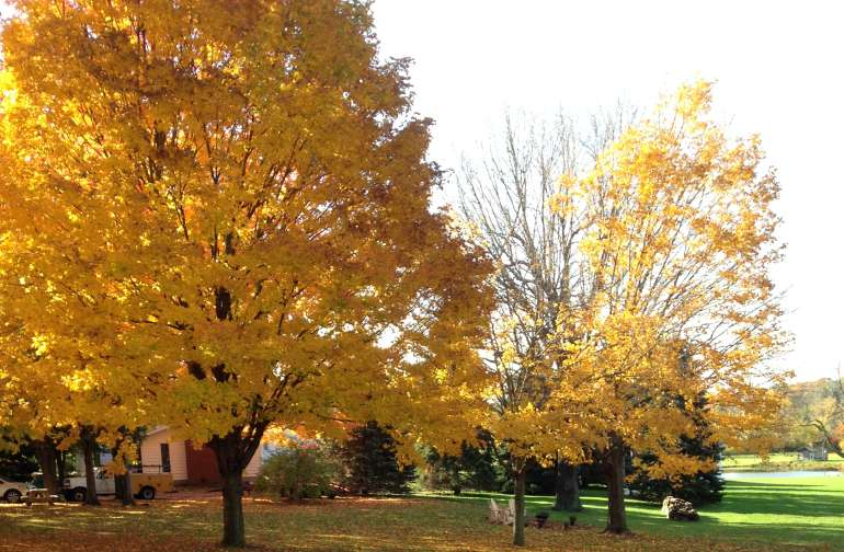 Our trees in autumn are gorgeous