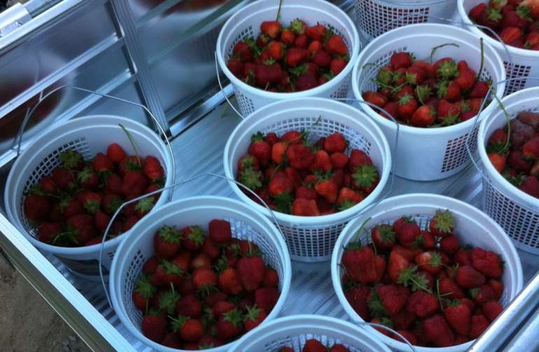 Pre Picked strawberries May through early June