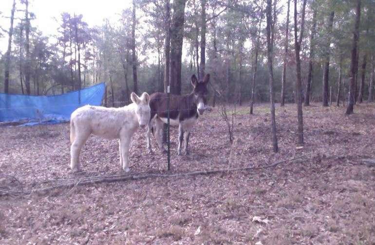 The donkeys.