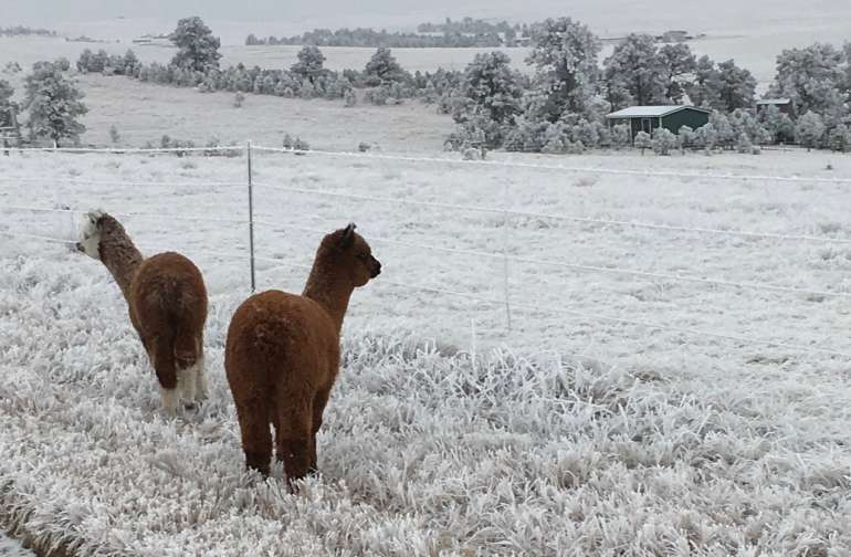 Here is our cabin and two of our young alpaca's exploring out on the road in the winter time!