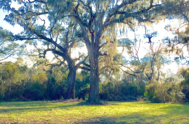 The tallest Live Oak Tree in the USA - 87 feet.