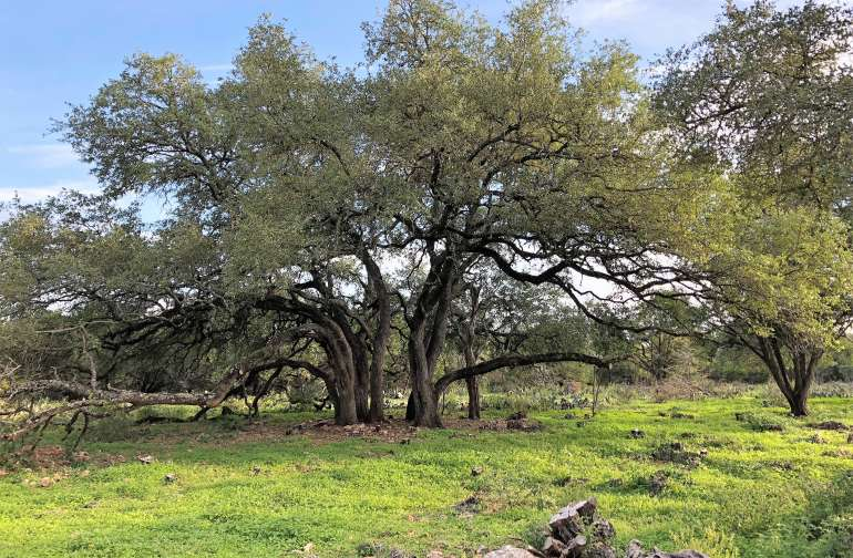 The old oak grove on the front of the property.