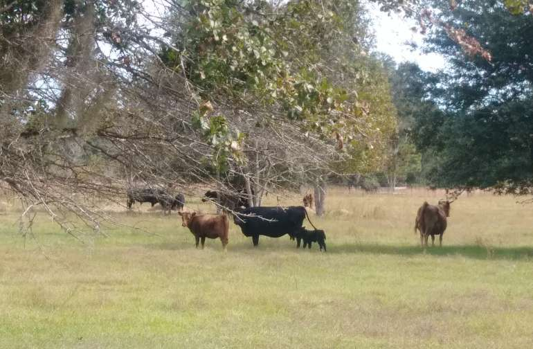 MOLIZ Cattle Campsites!