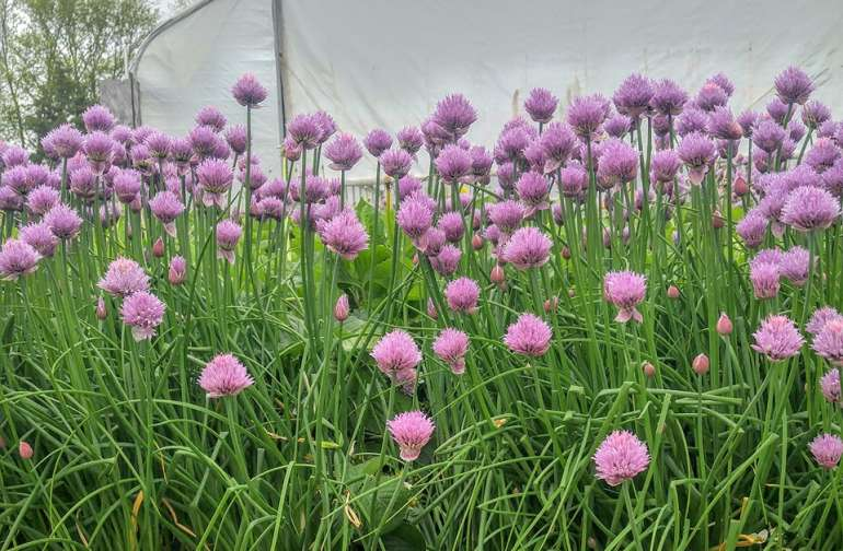 Our bees-in-residence love the blooming chives!